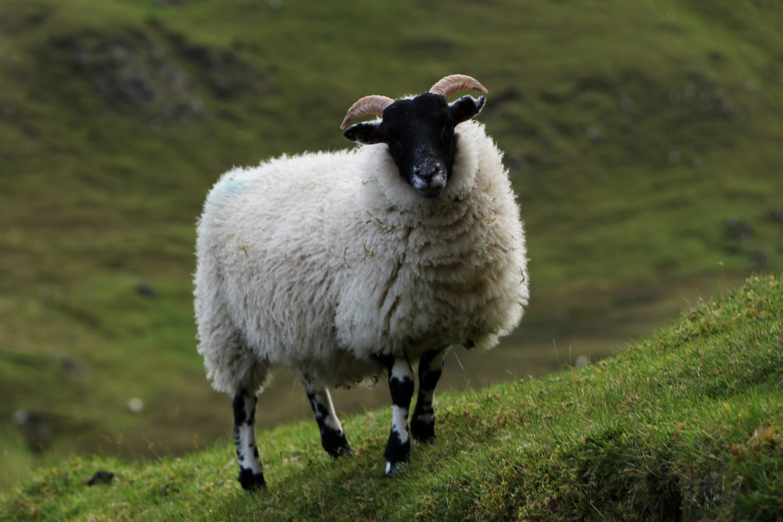 Scottish horned sheep on the Quiraing, Isle of Skye ECF