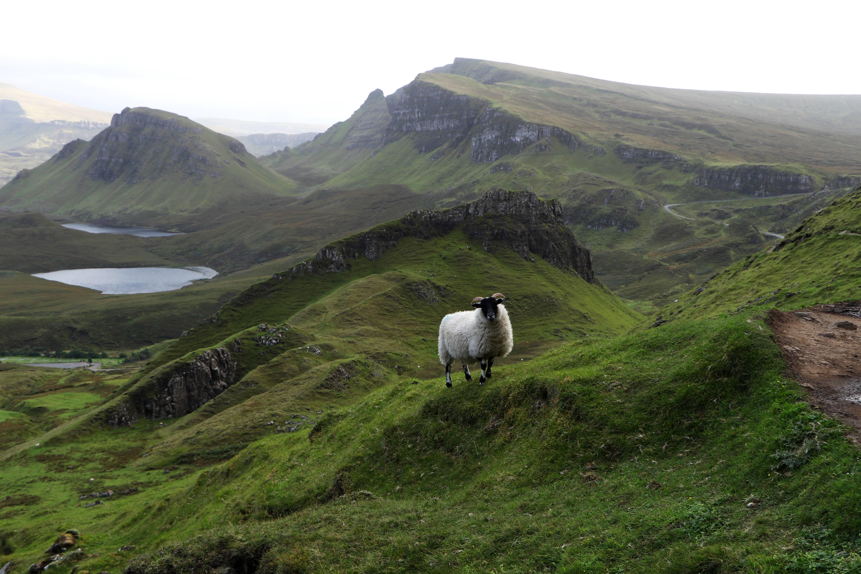 Sheep along the path of the Quiraing, Isle of Skye ECF